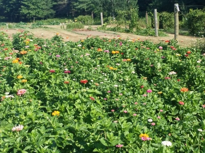The zinnia patch