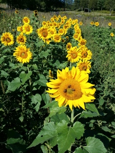 More sunflowers ready to cut