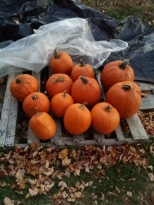 Field pumpkins ready for your doorstep