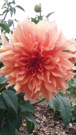 Gorgeous salmon dahlia