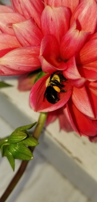 A cupped dahlia petal gives rest to a weary bee