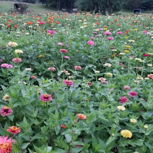Glory in the zinnia bed