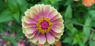 Quuen Lime blush zinnia