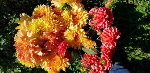 More warm color dahlias