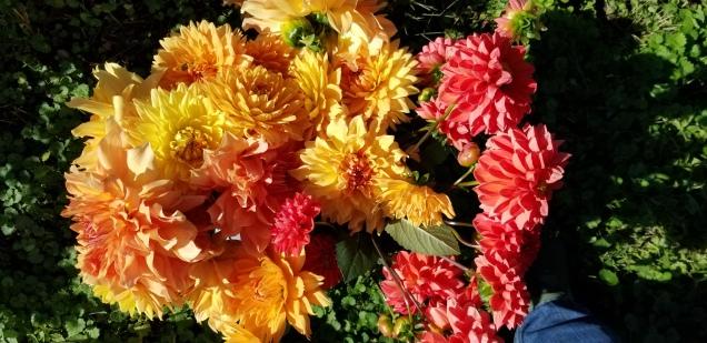 More warm color dahlias
