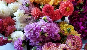 A palette of beautiful dahlia blooms