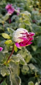Frost on dahlia buds put an end to the latest bloomers